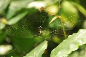 Waldspinne im Netz
