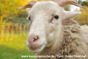 schaf_lienchen_heike-stommel