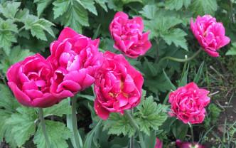 Gefüllte Tulpen